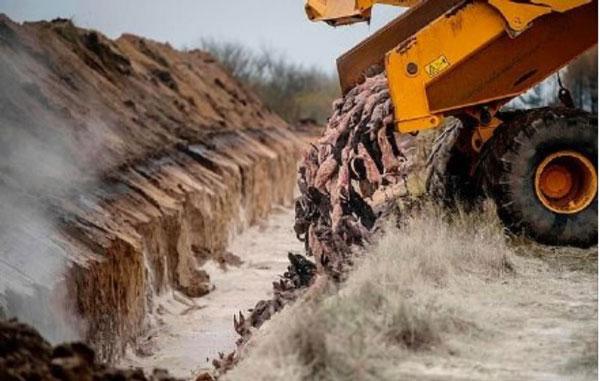 貂尸被卡车运到各地挖出的沟壑中掩埋。