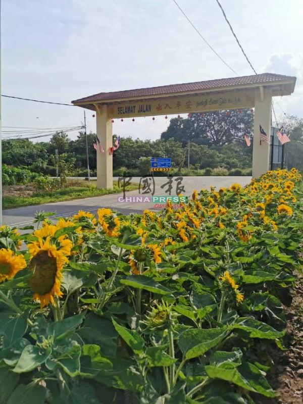 位于该村入口处的太阳花丛,成为新村另一项看点。