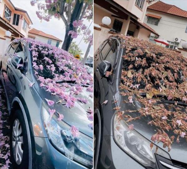 爱车停泊在风铃木树下两天,风雨来袭后花落满车,车主被迫清理掉落车上的残花。