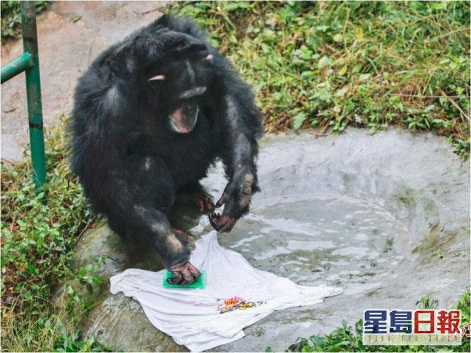 """黑猩猩""""渝辉""""4月30日在洗衣。"""