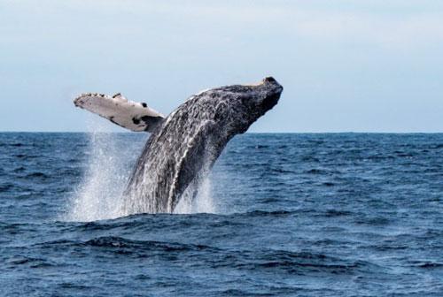 座头鲸。(档案照)