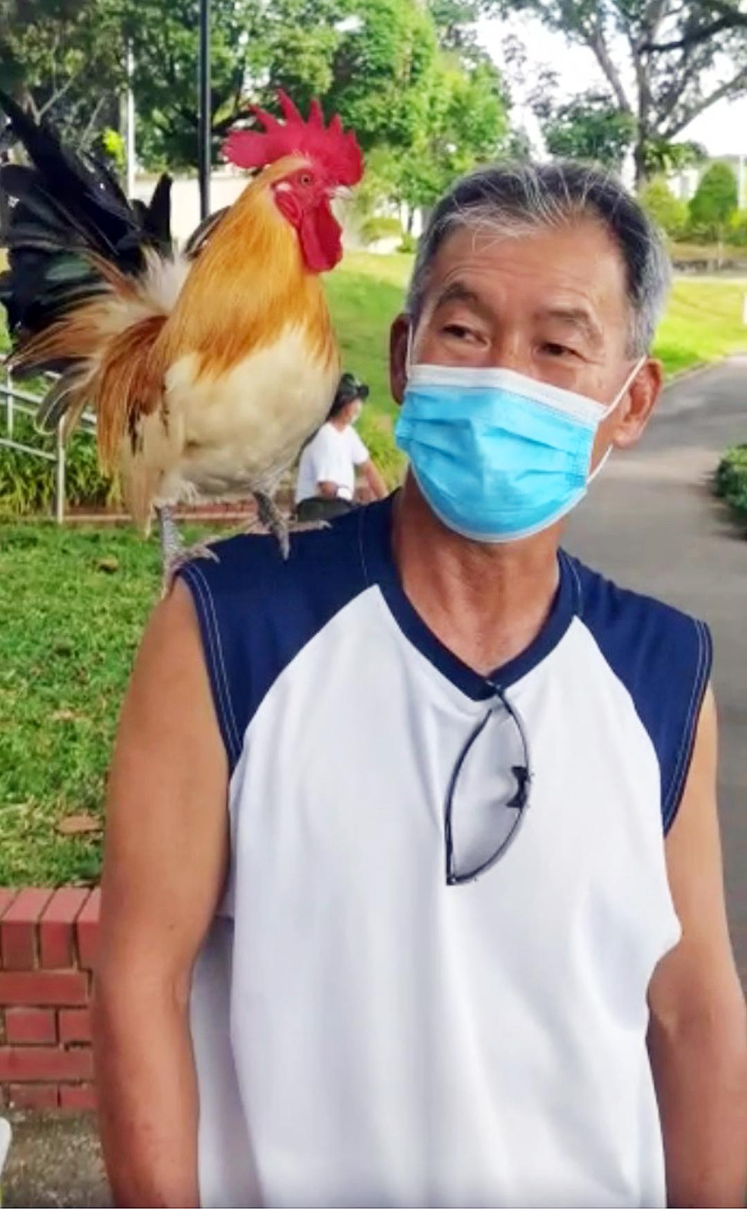 男子骑着脚踏车带公鸡出行,该只公鸡静静地站在他肩上,不吵不闹, 也不会跳下跑掉。(取自面子书)