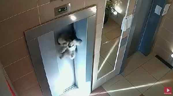 女主人搭电梯粗心大意,导致狗狗惨被电梯门勒脖子。